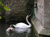 Swan on Moat